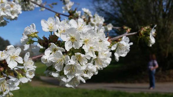 Kirschblüte in der Ortenau